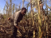 carribean-cane-farmer