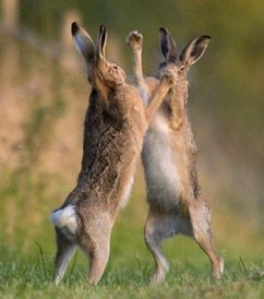 Hares fighting